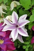Clematis Best Wishes